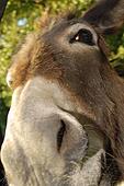 Les ânes domestiques dans ANE k2074563
