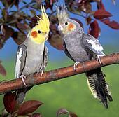 صور طائر الكوكتيل 109567.jpg